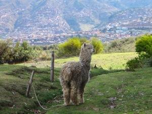 Blog Cusco Llama #9